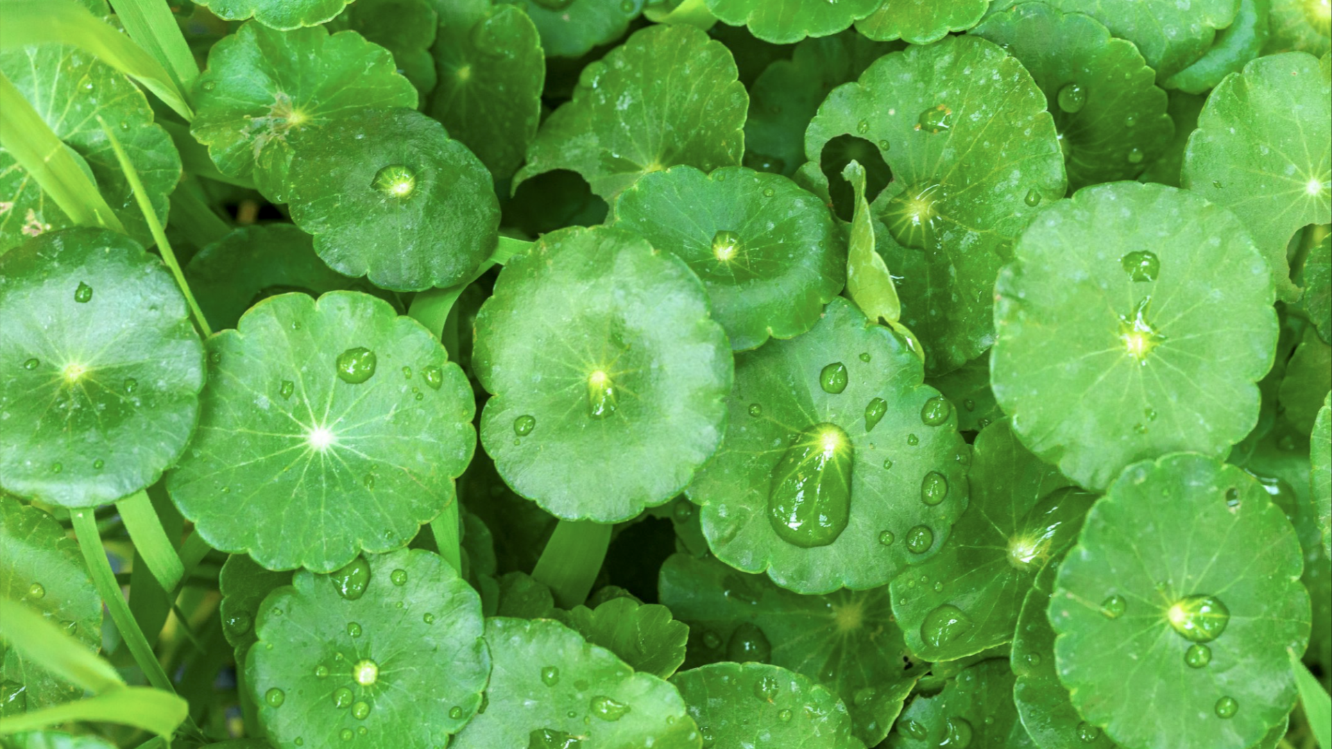Gotu Kola May Benefit Your Memory & Mood - iamYiam
